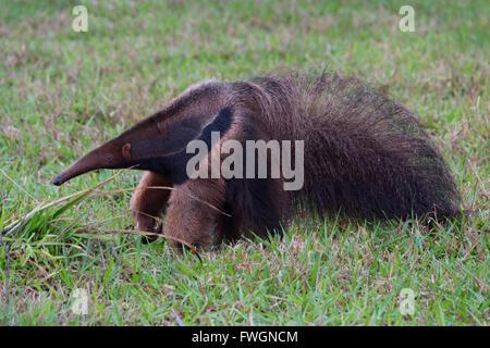 Großer Ameisenbär (Myrmecophaga Tridactyla), Mato Grosso, Brasilien, Südamerika - Stockfoto