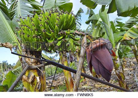 Bananen Früchte und Blütenstand (Blumen) auf Pflanze wächst in Büscheln, nördliche Küste von Teneriffa Kanaren Spanien - Stockfoto