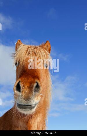 Isländische Pferd (Equus Ferus Caballus / Equus Scandinavicus) Großaufnahme Porträt in schweren Wintermantel auf - Stockfoto