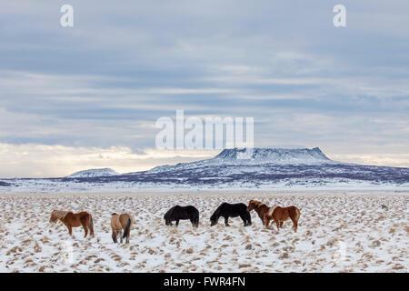 Isländische Pferd (Equus Ferus Caballus / Equus Scandinavicus) Herde im Schnee im Winter auf Island - Stockfoto