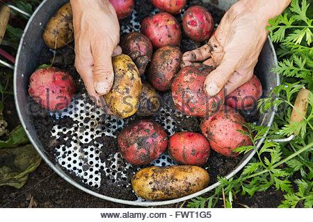 Mann, hält frisch geerntete Kartoffeln - Stockfoto