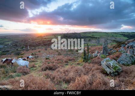Moorland Ponys Weiden auf Caradon Hill in der Nähe von Schergen auf Bodmin Moor in Cornwall - Stockfoto