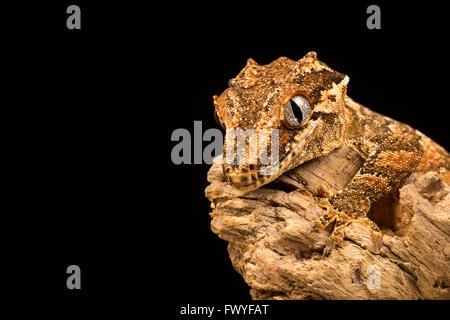 Wasserspeier Gecko thront auf einem Ast mit schwarzem Hintergrund. - Stockfoto