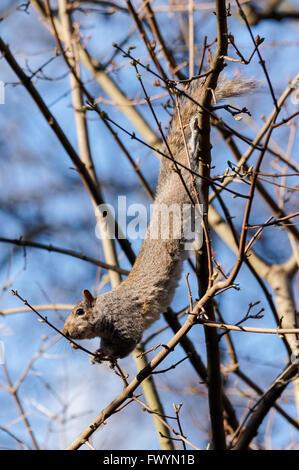 Graue Eichhörnchen im St. James Park, London England Vereinigtes Königreich UK - Stockfoto