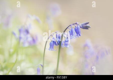 Nahaufnahme von Wald Glockenblumen mit einem weichen Pastellfarben-Effekt in der Postproduktion hinzugefügt. - Stockfoto