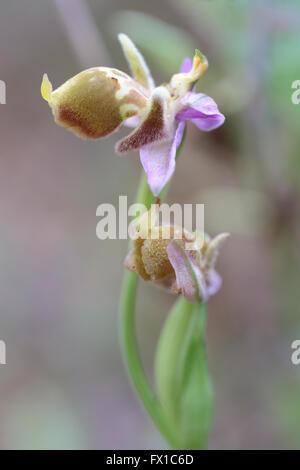 Die Bischöfe Orchidee, Ophrys Episcopalis, auf der griechischen Insel Kreta, wo sie endemisch und eine geschützte - Stockfoto