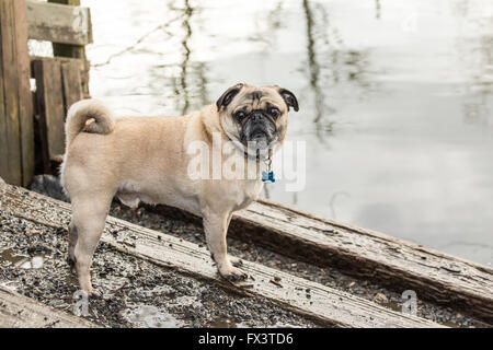 Beige-farbigen Mops, Buddy, posiert mit den Sammamish River in Ballard Hundepark in Redmond, Washington, USA - Stockfoto