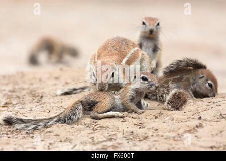 Borstenhörnchen (Xerus Inauris) Pflege jung, Kgalagadi Transfrontier Park, Northern Cape, Südafrika - Stockfoto
