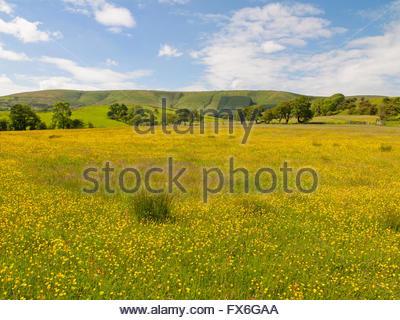 Wiese-Hahnenfuß (Ranunculus Acris) Blick auf Sattel fiel von Dinkling Green Farm, wenig Bowland Road, Whitewell, - Stockfoto