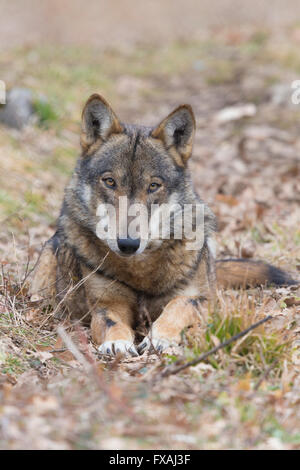 Italienischer Wolf (Canis Lupus Italicus), Gefangene Tier auf dem Boden, Civitella Alfedena, Abruzzen, Italien - Stockfoto