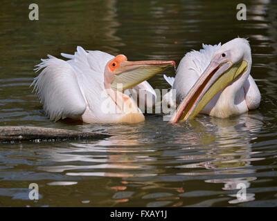 Closeup paar weiße Pelikane (Pelecanus Onocrotalus) auf dem Wasser - Stockfoto