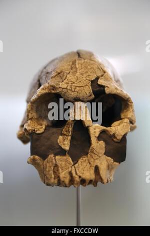 Homo Rudolfensis. Ost-Afrika. -1,9-vor 1,6 Millionen Jahren. Größe des Gehirns: 700 cm3. Oldowan - Stockfoto