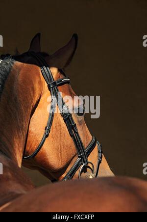 Schöne reinrassige Dressur Pferd Porträt im dunklen Stall - Stockfoto