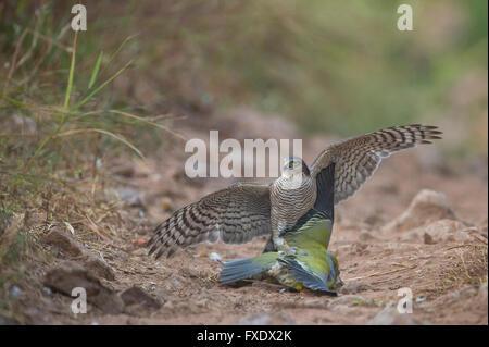 Eurasian Sparrowhawk, auch Sperber (Accipiter Nisus) Angriff auf eine gelb-footed grüne Taube (Treron Phoenicoptera) - Stockfoto