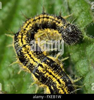 Kleiner Fuchs (Aglais Urticae) Raupe. Reife gelben und schwarzen stacheligen Larve des Schmetterlings in der Familie Nymphalidae