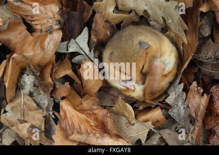 Haselmaus Muscardinus avellanarius - Stockfoto