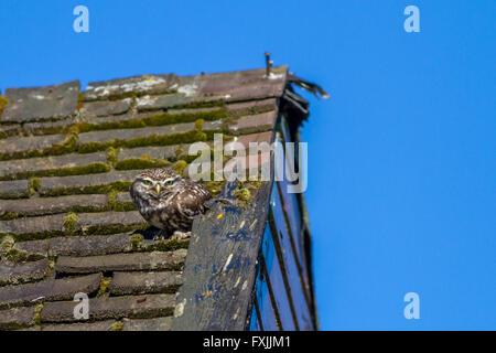 Kleine Eule sitzt auf einem alten Gartenhaus Dach in der Sonne, Yorkshire, Großbritannien - Stockfoto