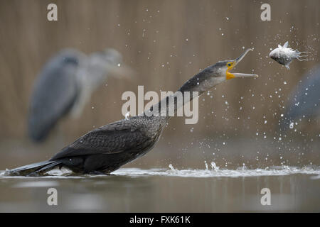 Kormoran (Phalacrocorax Carbo), Jungvogel aus dem vergangenen Jahr wirft seine Beute für Essen, Nationalpark Kiskunság - Stockfoto