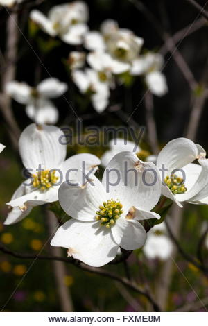 Cornus Florida L. Baum Blumen Makro fotografiert bei Tageslicht ...