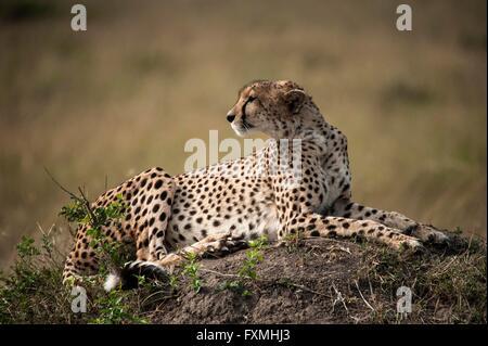 Gepard im Serengeti National Park 9. Juli 2014 in Tansania. - Stockfoto