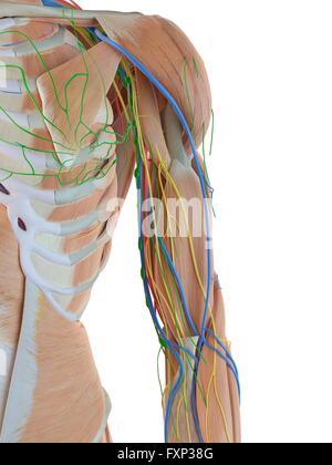 Menschlicher Arm Venen, Computer Bild Stockfoto, Bild: 102517902 - Alamy