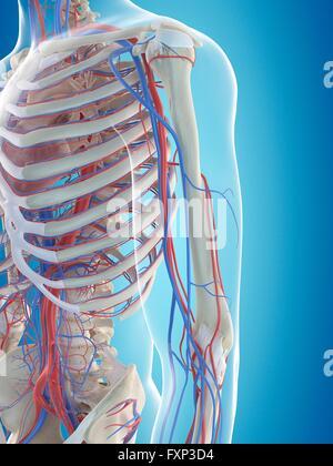 Humerus Anatomie mit Herz-Kreislauf-System Stockfoto, Bild: 80197097 ...