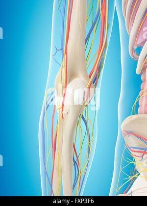 Anatomie der Nerven, Arterien und Venen des Arms (Obere Extremität ...