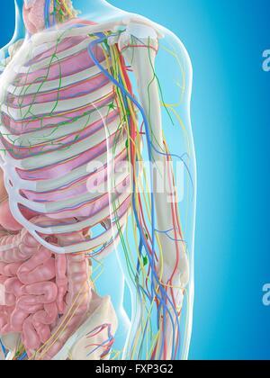 Menschlichen Armarterien, Computer Bild Stockfoto, Bild: 102518044 ...