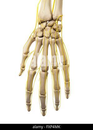 Menschliche Hand Nerven, Abbildung Stockfoto, Bild: 111972992 - Alamy