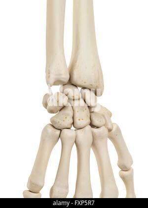 Hand und Handgelenk - Knochen & Gelenke Stockfoto, Bild: 130806185 ...
