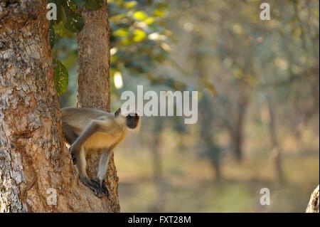 Gemeinsamen Languren oder Hanuman-Affen (Semnopithecus Entellus) in einen Baumstamm, Ranthambhore National Park, - Stockfoto