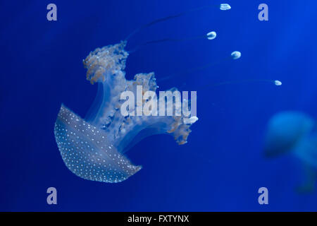 Weiß gefleckten Quallen (Phyllorhiza Trommler), auch bekannt als der Australier entdeckt Quallen in das Aquarium - Stockfoto