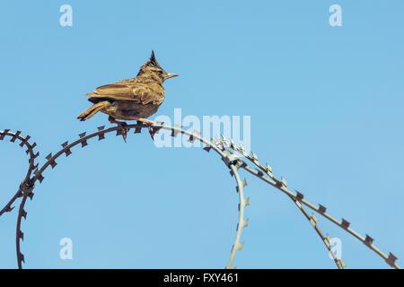 Erklommene Lerche männlich (Galerida Cristata) ruht auf einem Stacheldraht über strahlend blauen Himmel. - Stockfoto