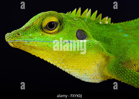 Grüne crested Lizard (Bronchocela cristatella)