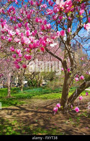 Magnolie blüht in City Hall Park in Lower Manhattan, New York, USA. Wolkenkratzer im Hintergrund. Selektiven Fokus - Stockfoto