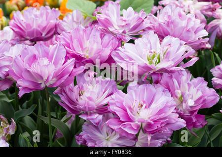 "Stark doppelte Blumen der frühen Tulpe Tulipa ""Blaue Spektakel"" - Stockfoto"