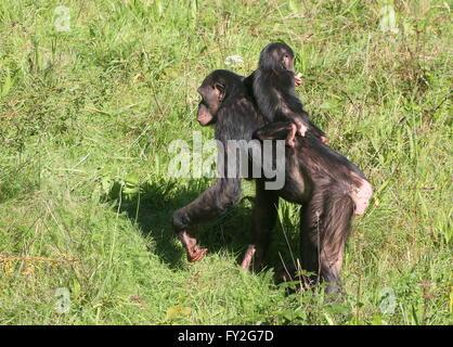 Mutter Afrika Bonobo Schimpansen (Pan Paniscus) zu Fuß mit ihrem Baby-jungen auf dem Rücken Stockfoto