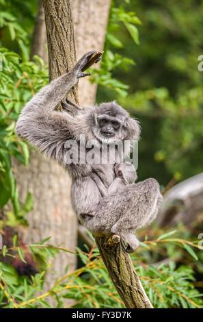 Silbrig Gibbon (Hylobates Moloch) mit einem Neugeborenen. Die silbrige Gibbon zählt zu den am meisten bedrohten - Stockfoto