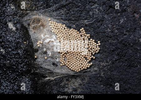 kokon aus tussock moth stockfoto bild  alamy