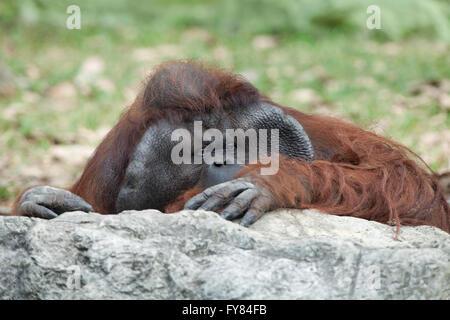 Porträt von nachdenklich traurig Orang-Utan im Sommer invironment - Stockfoto