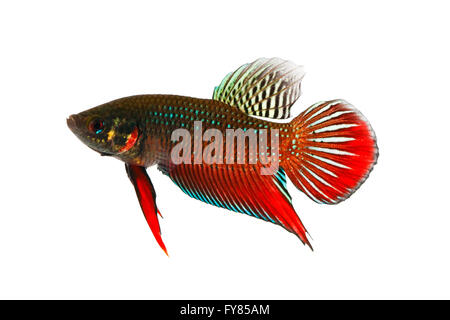 Betta splendens sch ne k mpfe fisch auf schwarzem for Siamesische kampffische
