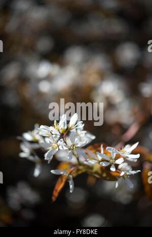 Amelanchier Lamarckii. Einen frühen Frühling blühenden Strauch mit ...