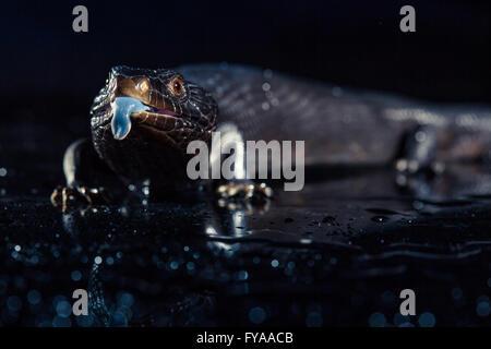 Schwarz blau reliefierten Eidechse in feuchten dunklen glänzenden Umgebung - Stockfoto