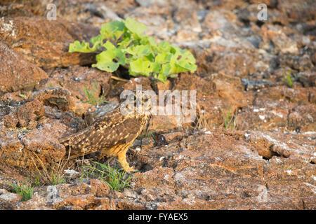 Sumpfohreule Asio Flammeus Galapagoensis, Erwachsene mit Sturmtaucher Beute, El Barranco, Isla Genovesa, Galápagos - Stockfoto