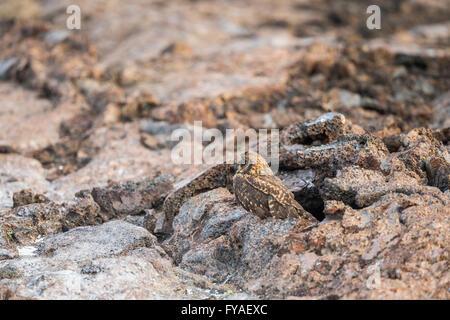 Sumpfohreule Asio Flammeus Galapagoensis, Erwachsene versteckt im Lavafeld, El Barranco, Isla Genovesa, Galápagos - Stockfoto