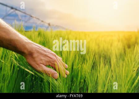 Landwirt grüne Weizenpflanzen in Berührung bewässerten kultivierten Feld, Hand über Pflanzen, Sonne im Hintergrund, - Stockfoto