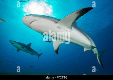 Karibischer Riffhai Carcharhinus Perezi, Schwimmen, Bahamas - Stockfoto