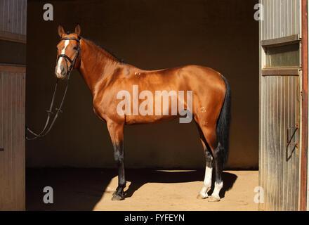 Schöne reinrassige Dressurpferd in seinem dunklen Stall - Stockfoto