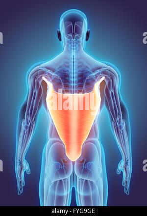 3D Abbildung des Latissimus Dorsi, Teil der Muskel Anatomie ...