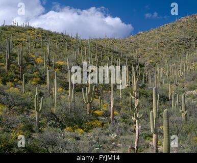 USA, Arizona, Coronado National Forest, sammeln Sie Cumulus-Wolken über Stand der Saguaro-Kakteen mit Brittlebush - Stockfoto